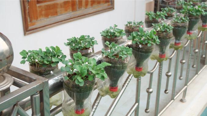 Vegetable Growing On The Balcony