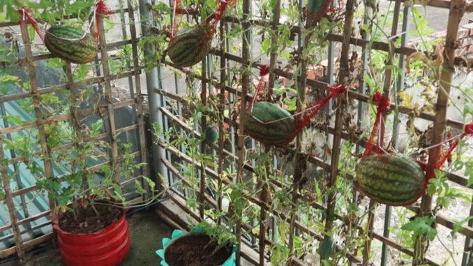 How to grow watermelon on the balcony to produce many fruits
